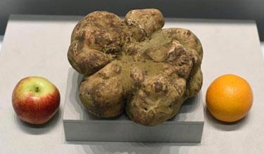 white-truffle-4.16