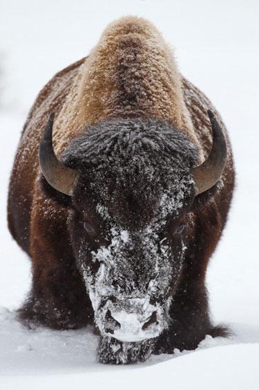 SnowBison