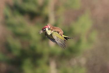 WoodpeckerWeasel
