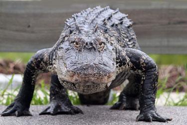 alligator-walking