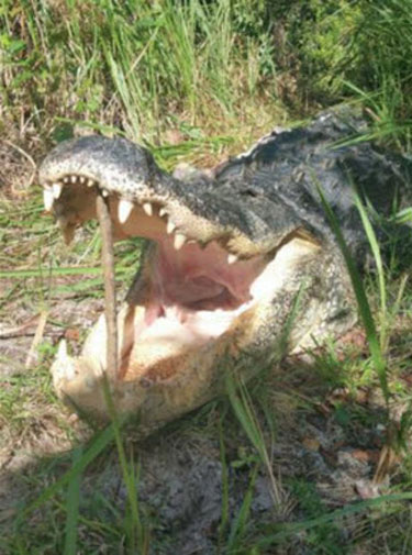 AlligatorAteRiggins