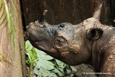 SumatraRhino