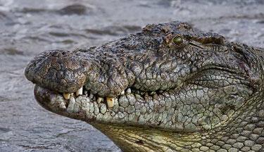 NileCrocodile