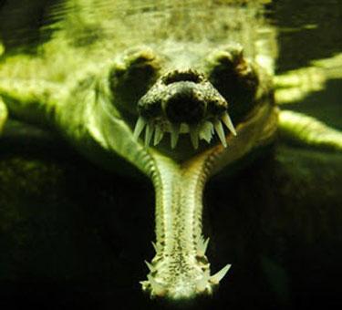 gharial2