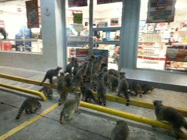 raccoons1